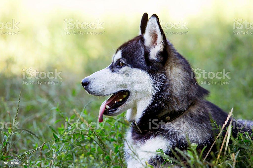 dog breed Siberian Husky stock photo