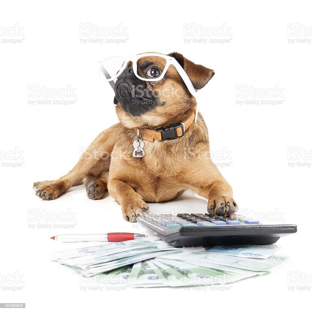 Dog Breed Small Brabant Accountant stock photo