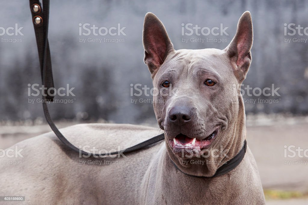 dog breed Thai Ridgeback stock photo