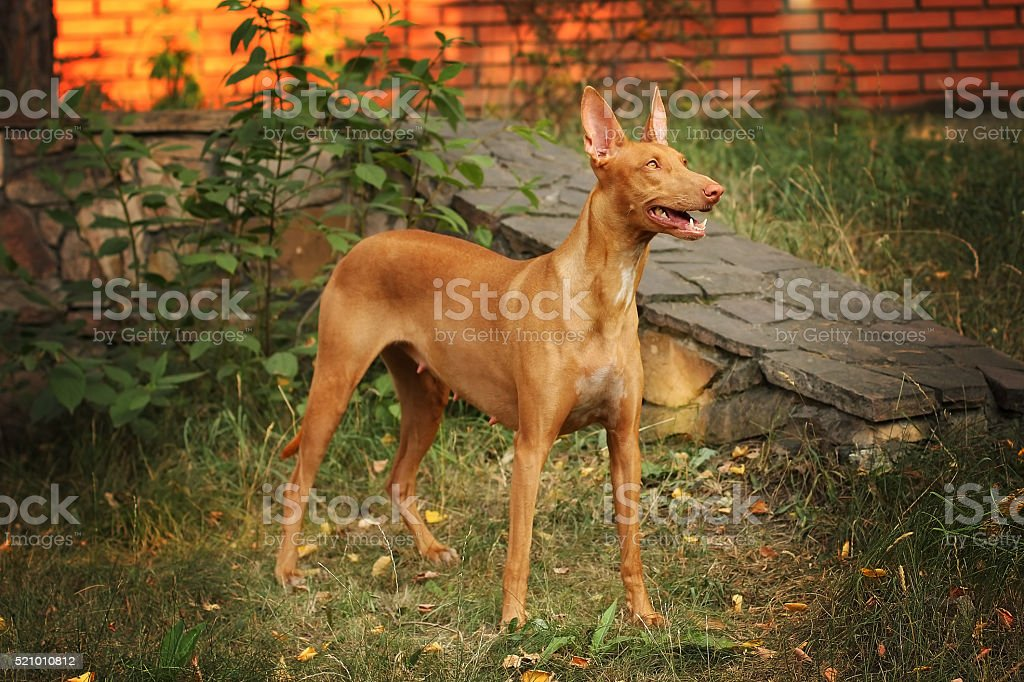 dog breed the Pharaoh hound is in full growth stock photo