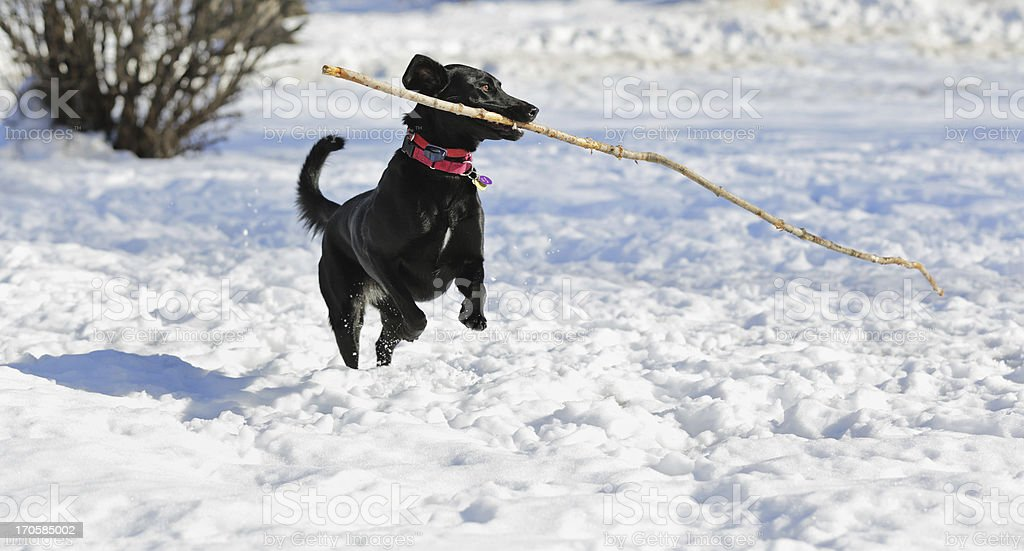 Dog Carrying Big Stick Jumping in Winter Snow stock photo
