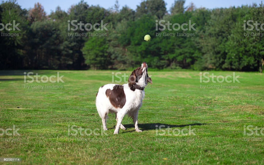dog catching a ball in a meadow stock photo