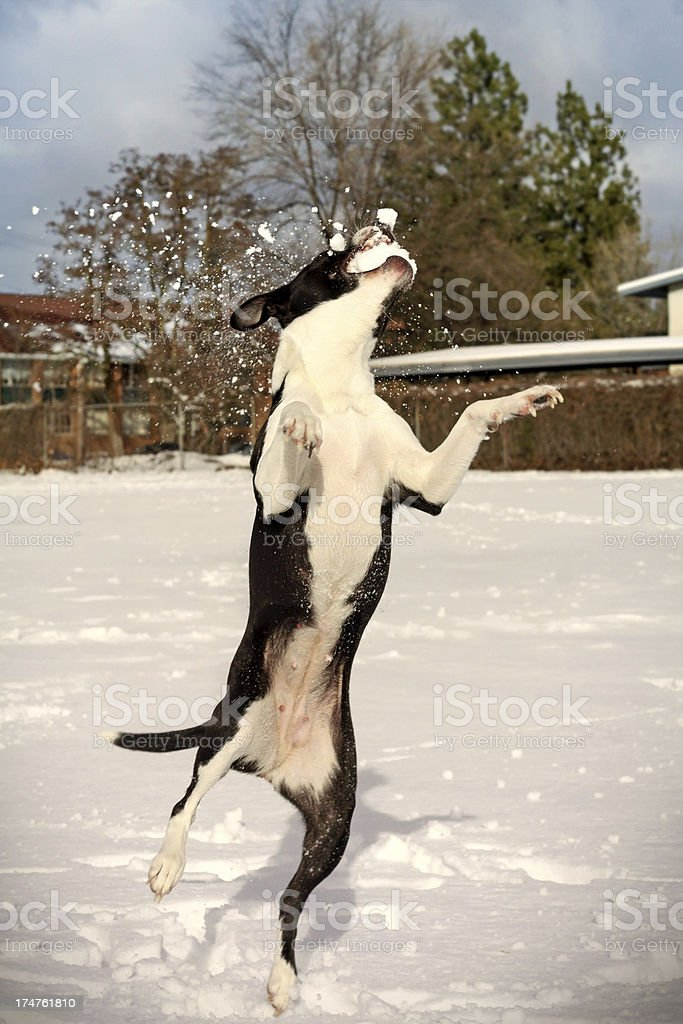 Dog Catching a Snowball royalty-free stock photo