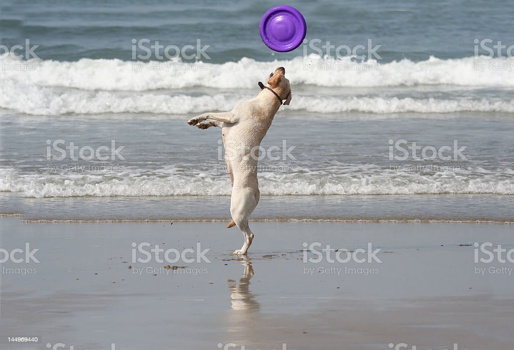 dog catching the disc royalty-free stock photo