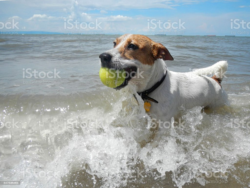 Dog catching the tennis ball in the beach. stock photo