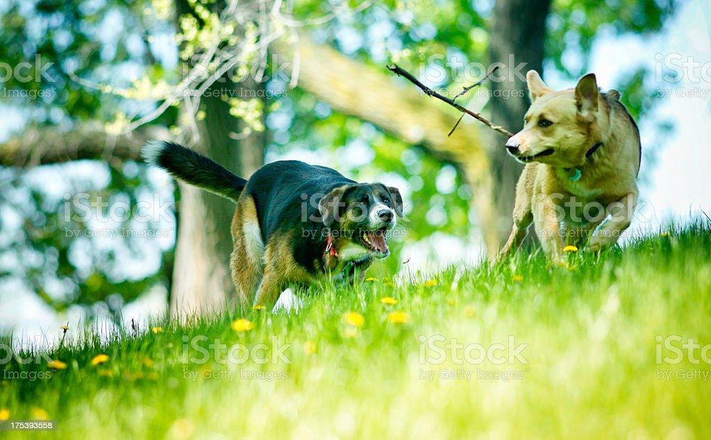 Dog Chase royalty-free stock photo