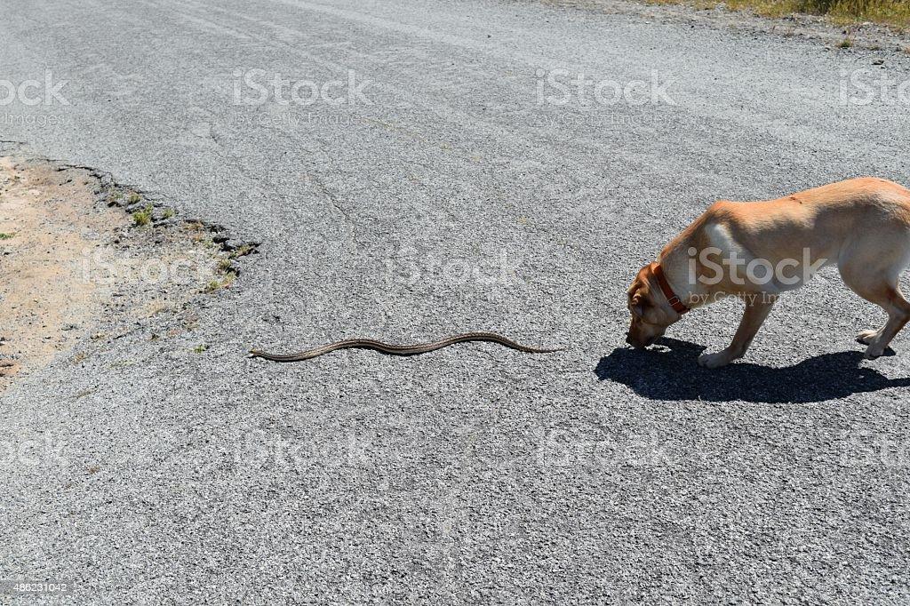 Dog Chases Snake stock photo