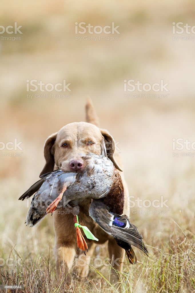 Dog: Chesapeake Bay Retriever Hunting stock photo