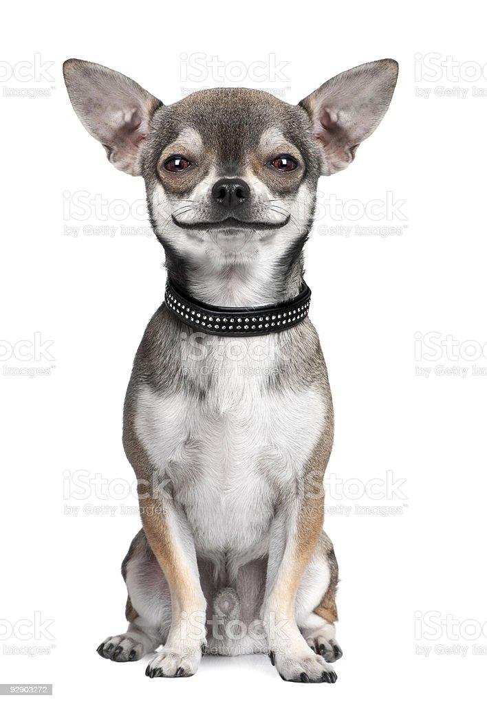dog: chihuahua, looking at the camera, smiling stock photo