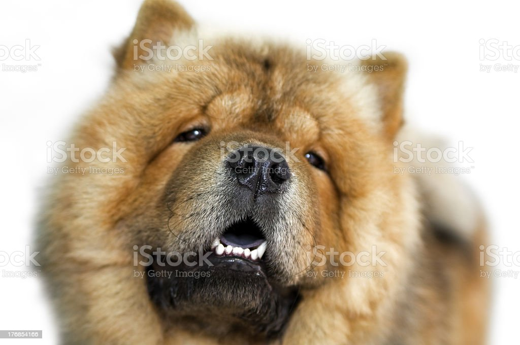 Dog  Chow-chow royalty-free stock photo