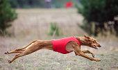 Dog Cirneco dell'Etna pursues bait in the field
