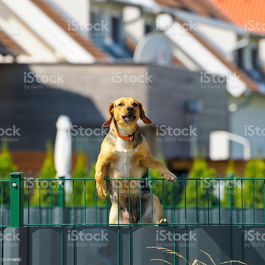 Dog climbs over fence stock photo