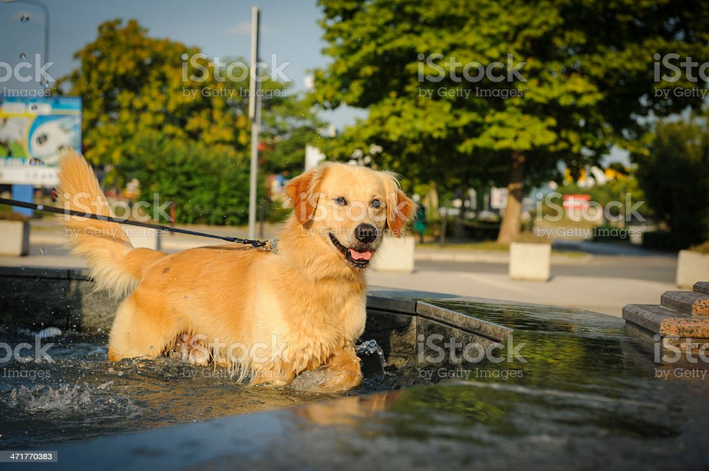 Dog cooling in a fountain royalty-free stock photo