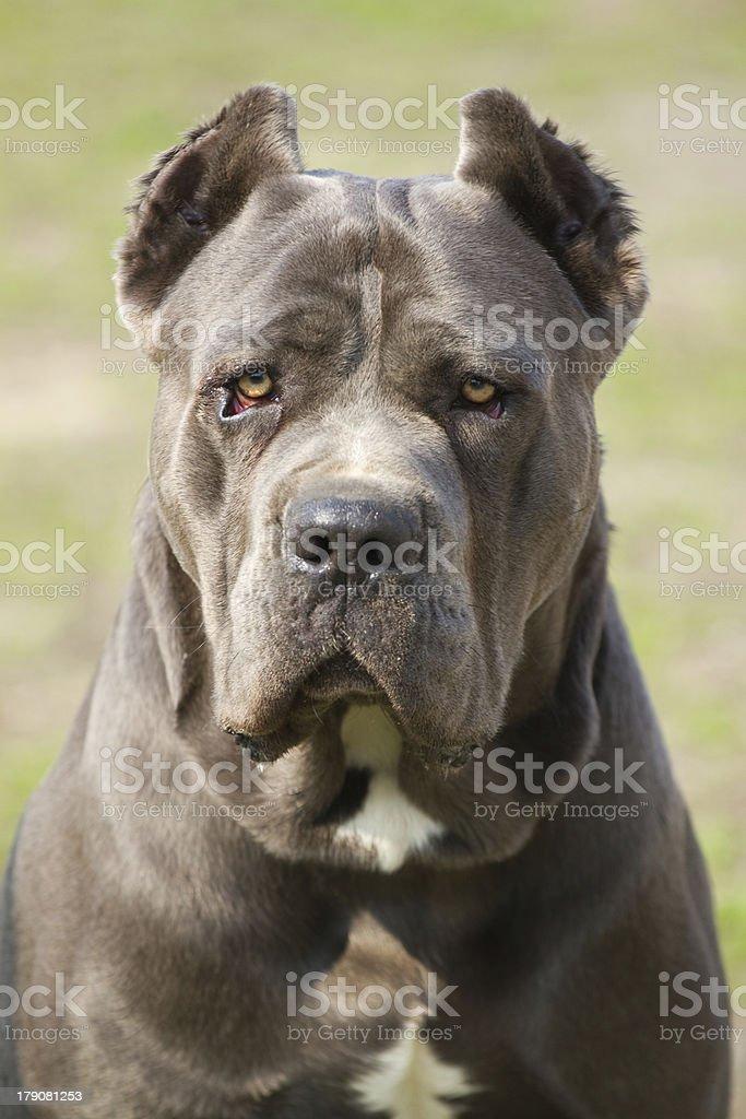 Cane corso dog stock photo
