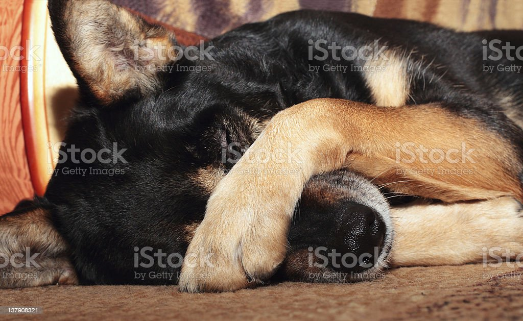 Dog covering nose stock photo