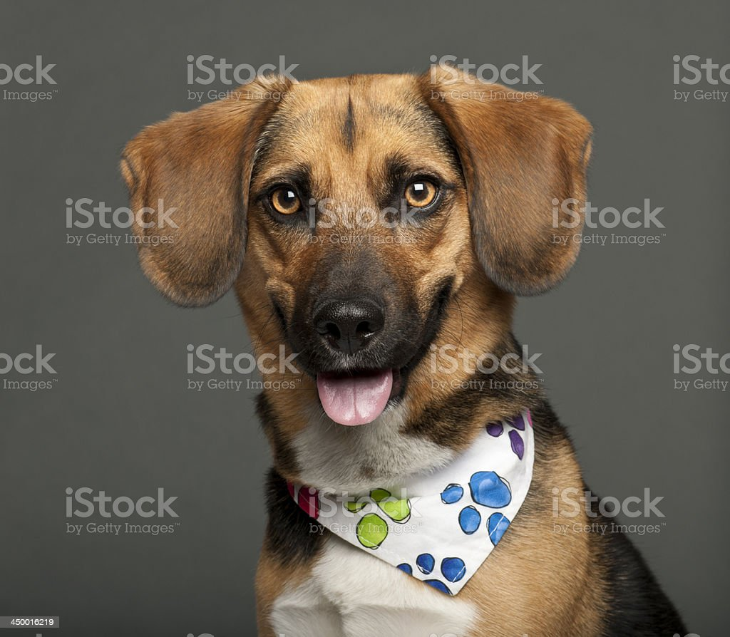 Dog, cross breed with a beagle wearing neckerchief royalty-free stock photo