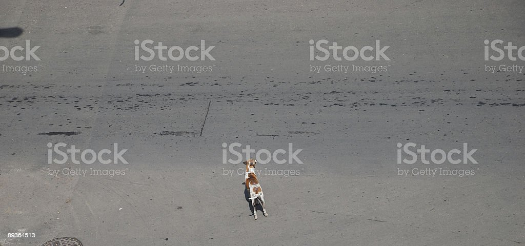 Dog crossing the road stock photo