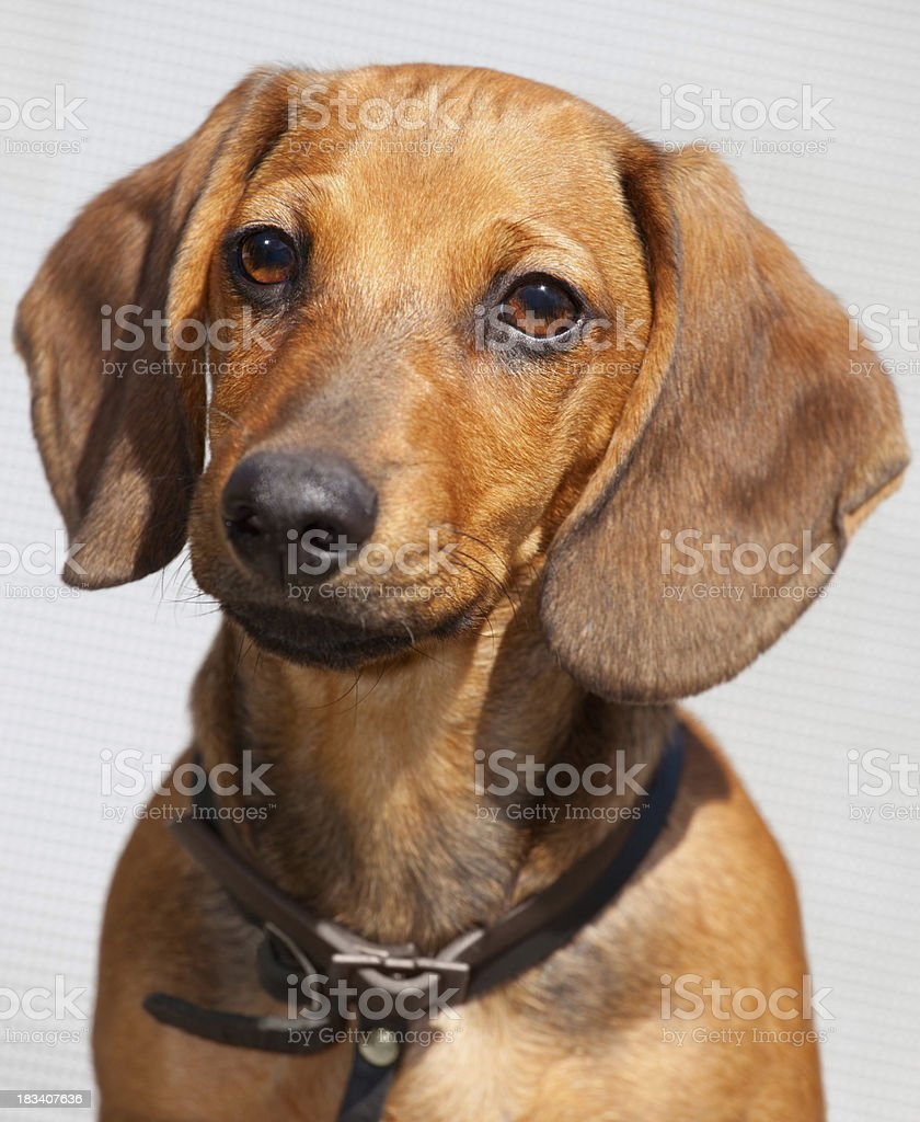Dog dachshund royalty-free stock photo