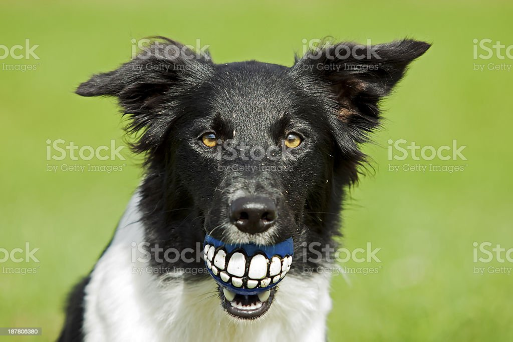 Dog dentist stock photo