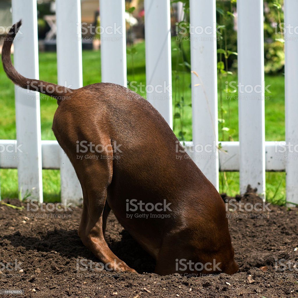 A dog digging a hole in the ground stock photo