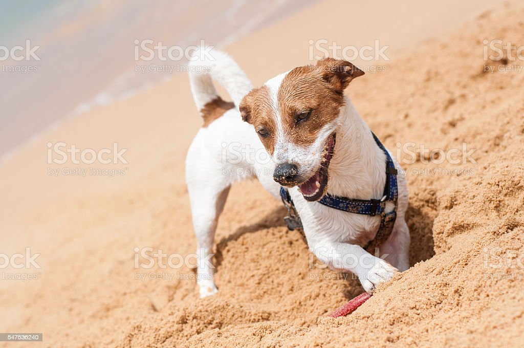 Dog digging a hole in the sand at the beach stock photo