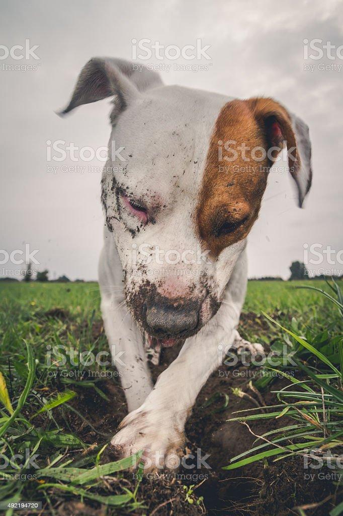 Dog digging a hole stock photo