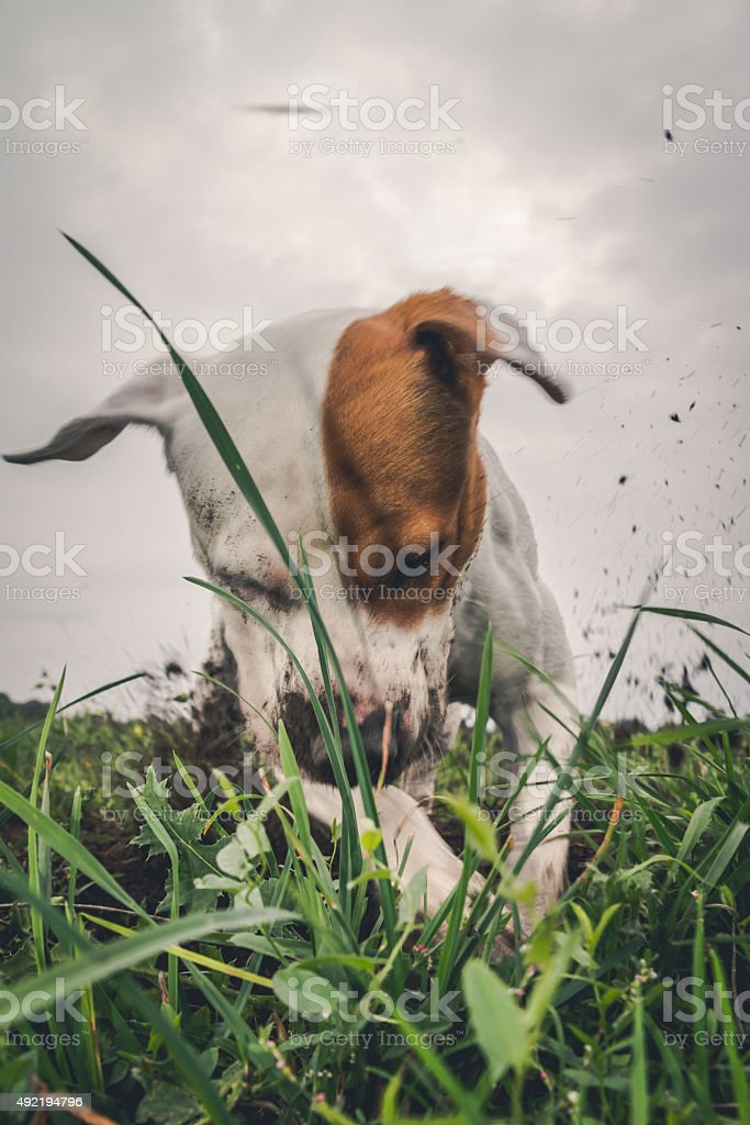 Dog digging a hole stock photo