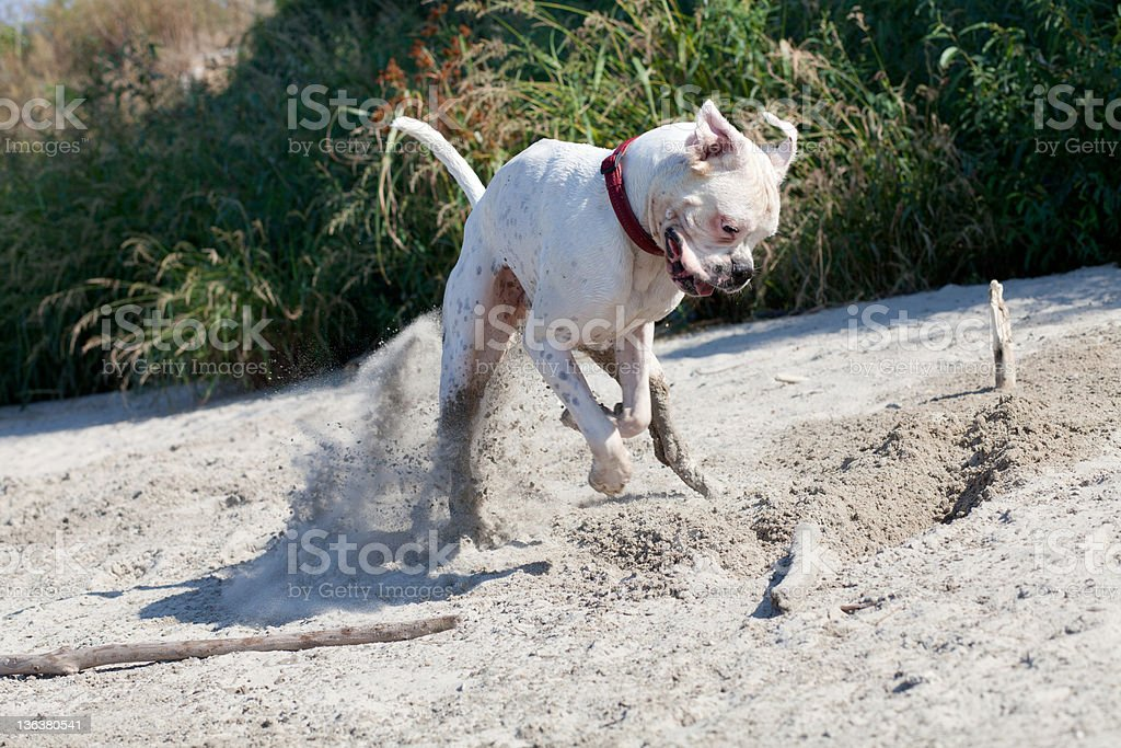 dog digging a whole in the sand royalty-free stock photo