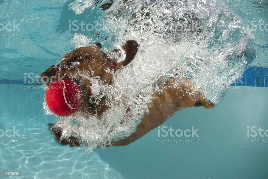 dog dives head first into pool stock photo