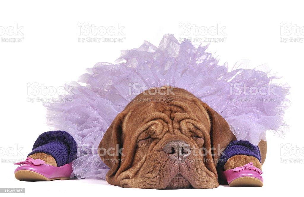 Dog dressed as a balerine royalty-free stock photo