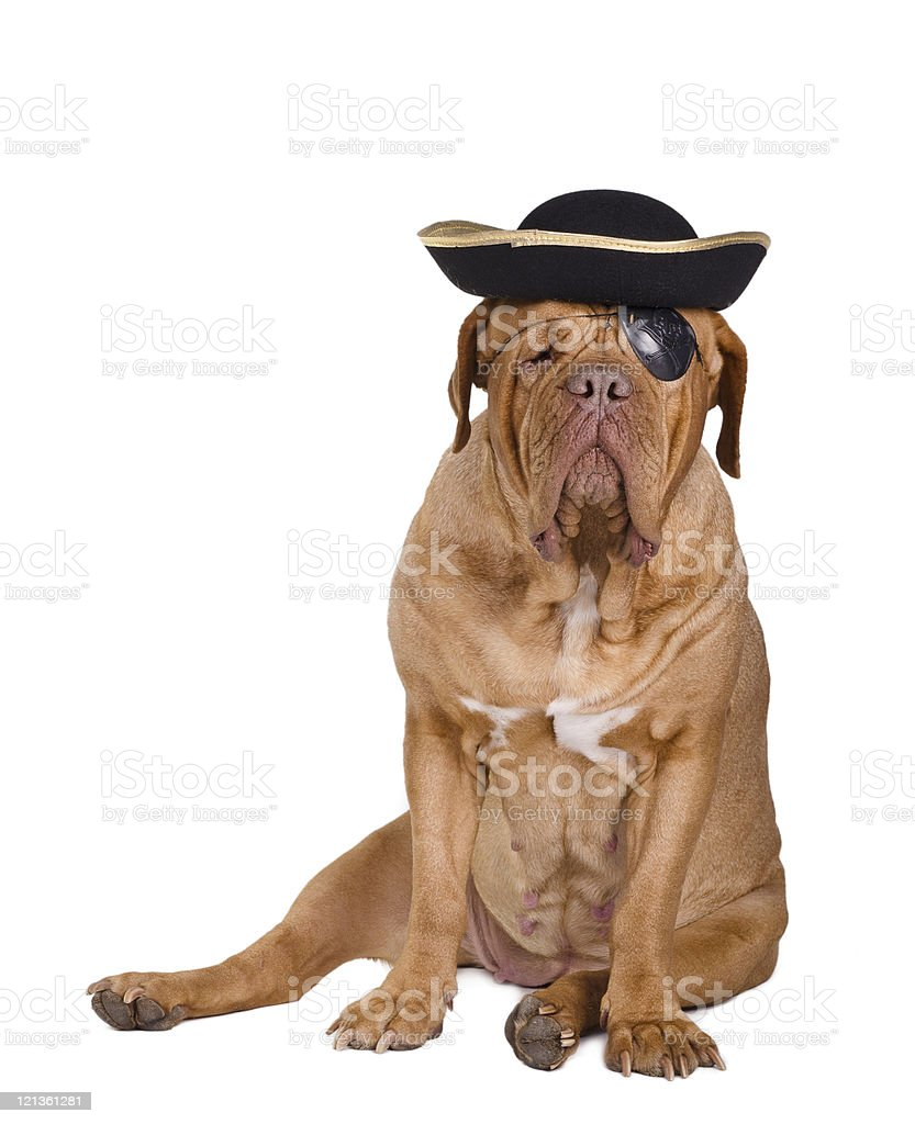 Dog dressed as caribbean pirate with eye patch and hat royalty-free stock photo