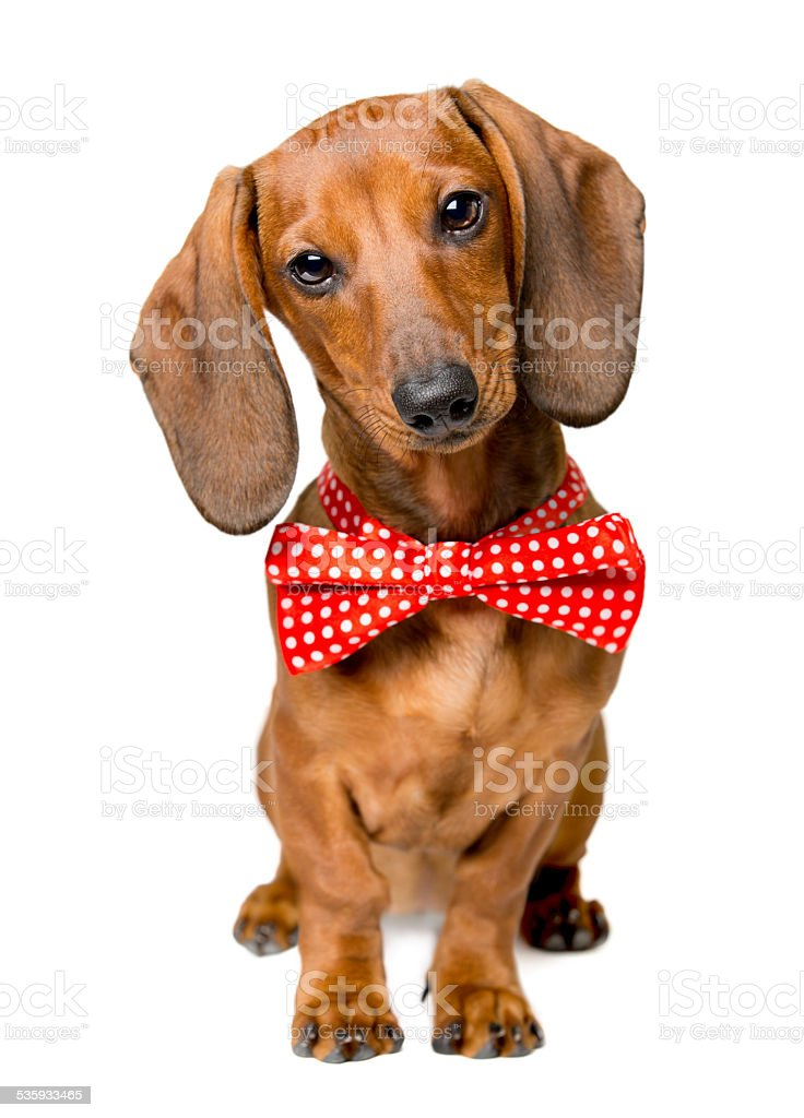 Dog Dressed Bow Tie, Dackel with Bow-Tie, Animal Clothes Wearing stock photo