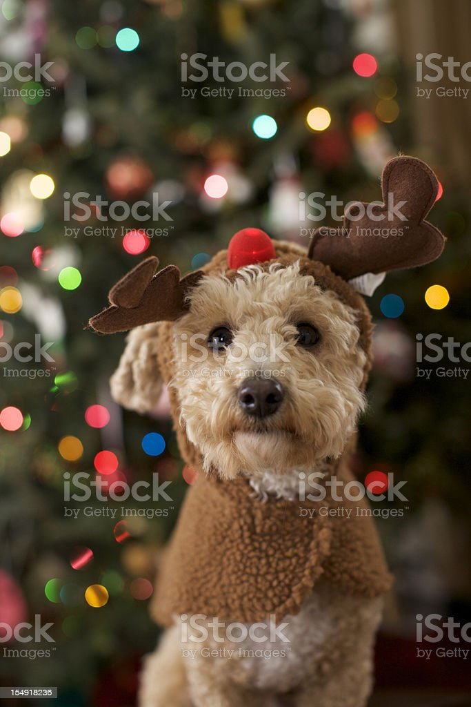A dog dressed up as a Christmas reindeer stock photo