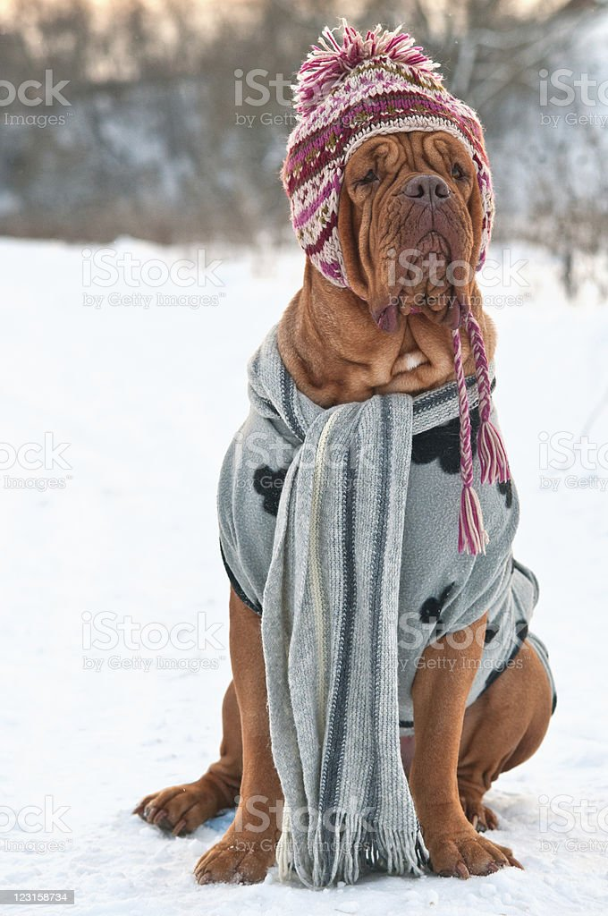 Dog dressed with hat, scarf and sweater, sitting on snow stock photo
