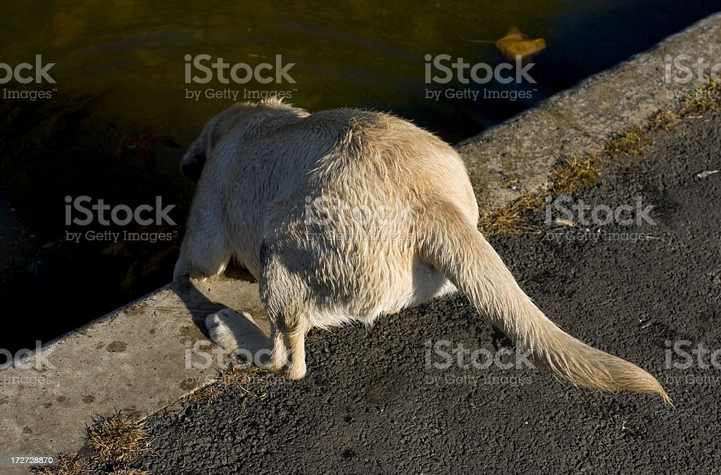 Dog drinking royalty-free stock photo