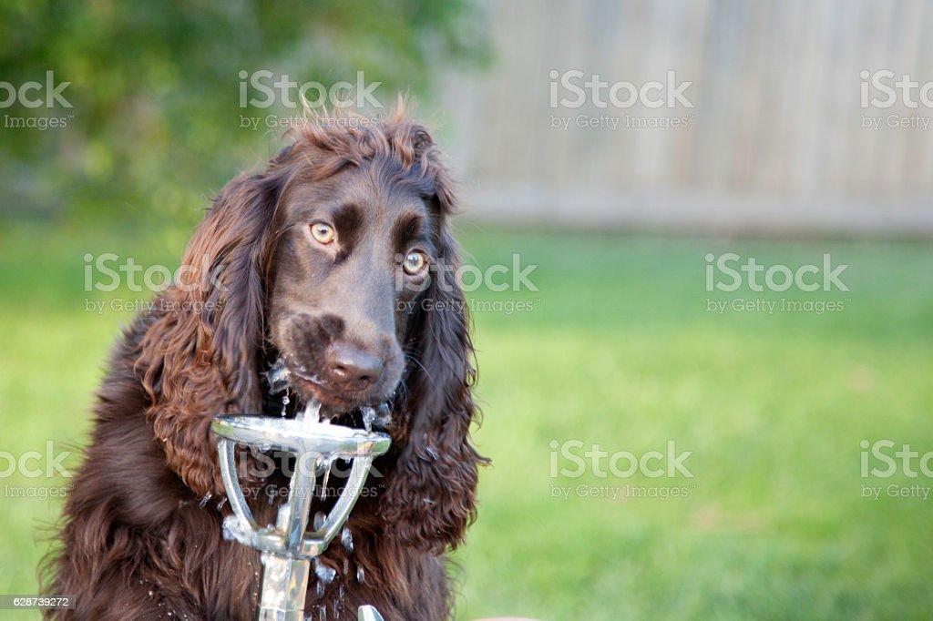 Dog drinking water stock photo