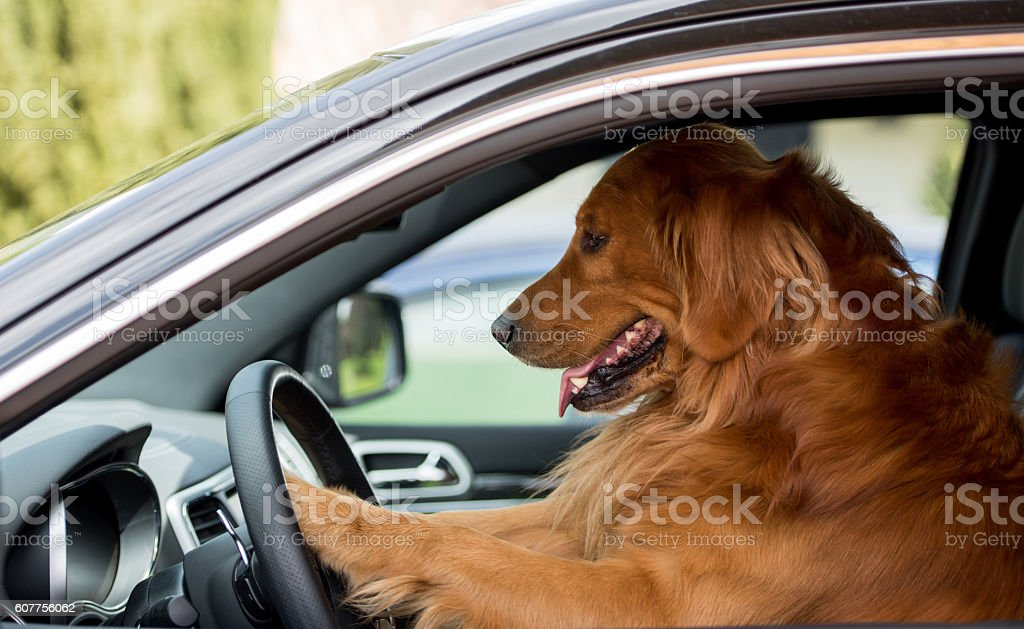Dog driving a car stock photo
