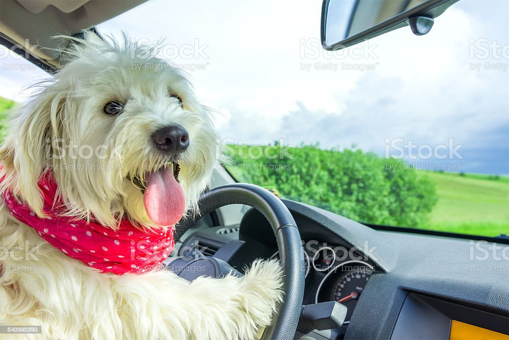 Dog driving a steering wheel in a car stock photo