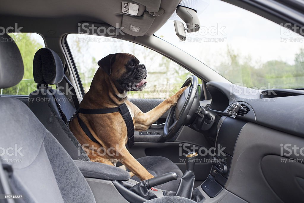 Dog driving car stock photo