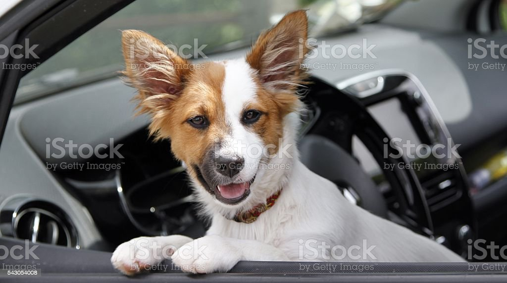 Dog driving stock photo