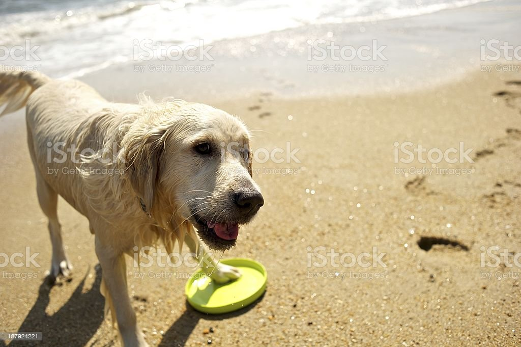 Dog drying off at the beach stock photo