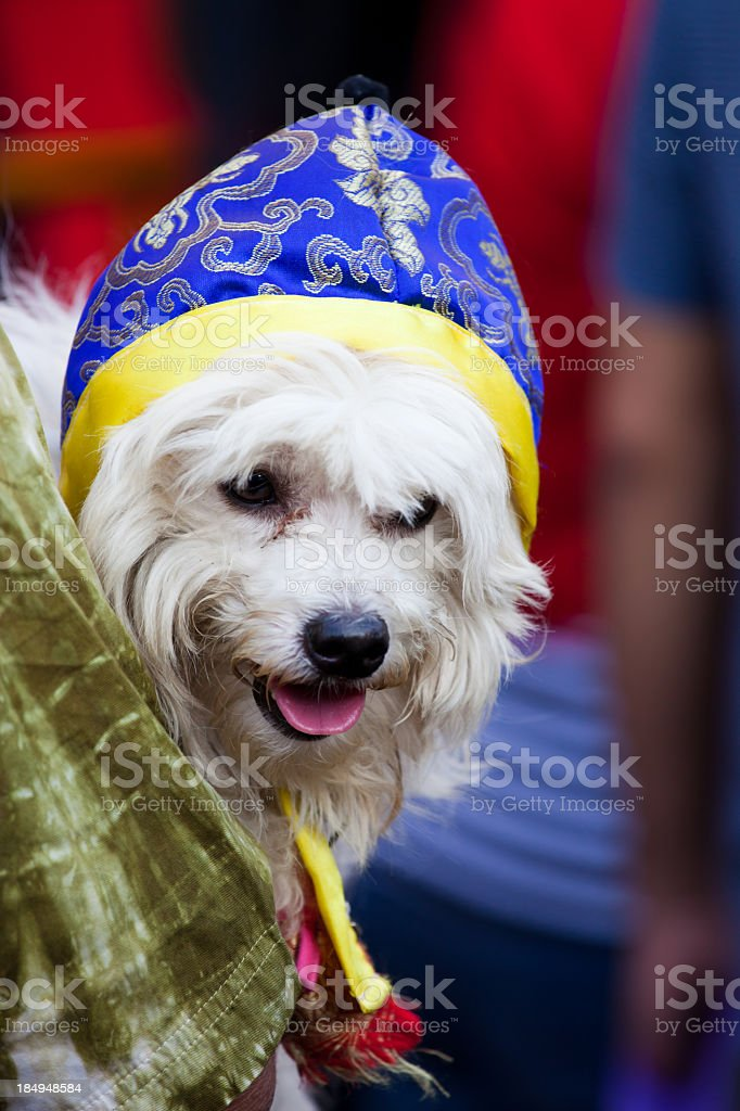 Dog during Chinese New Year, Thailand stock photo