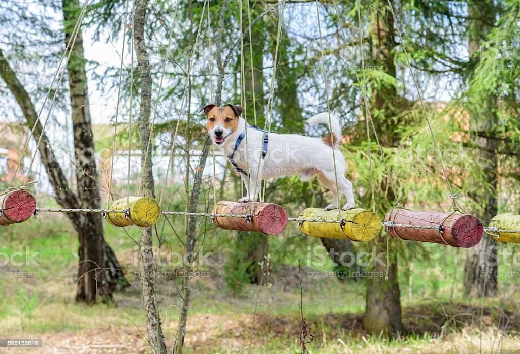 Dog during ropes course standing on high elements rope bridge stock photo