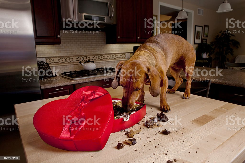 Dog eating chocolates from heart shaped Valentine's box royalty-free stock photo