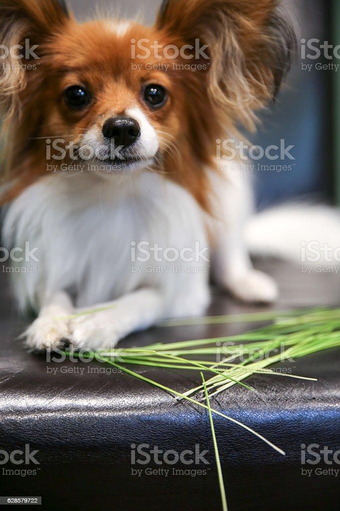Dog Eating Grass stock photo
