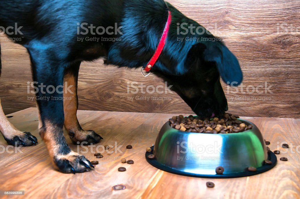 Dog eats food from a bowl stock photo