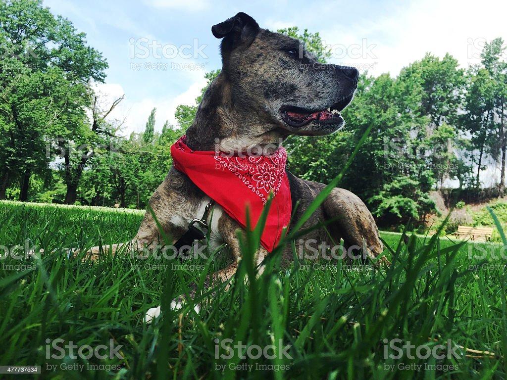 Dog Enjoying Summer Day Laying in Grass stock photo