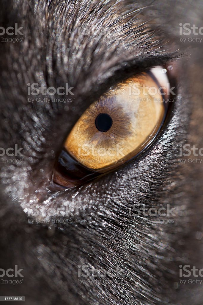 Dog eye royalty-free stock photo