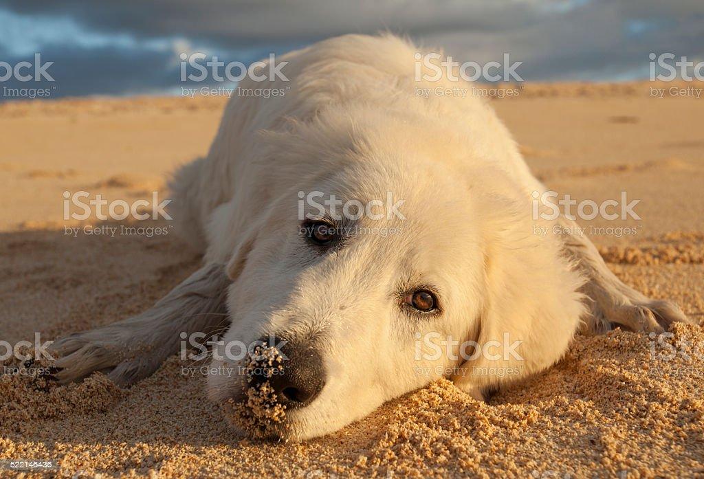 Dog face sulk close up stock photo