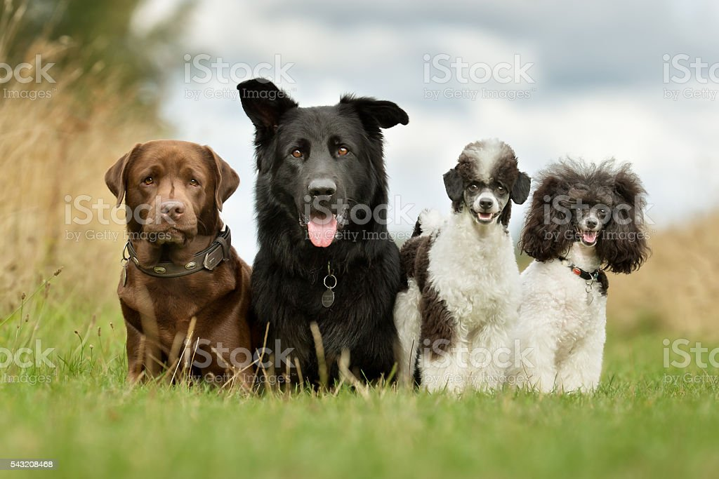 Dog Family stock photo